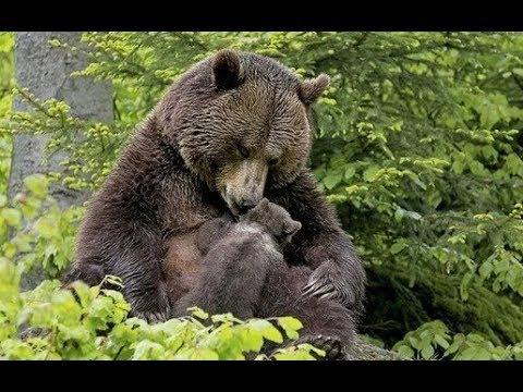 Медведица привела своего