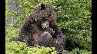Медведица привела своего медвежонка к девушке, и вот почему
