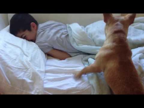 French Bulldog Wake Up Call