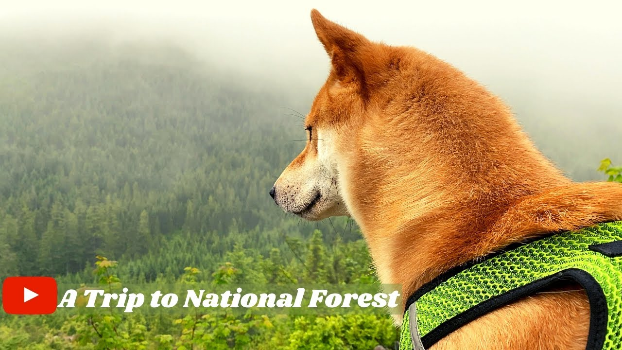 Dog Visits National Forest [First Camping Trip] | Jimmy the Shiba