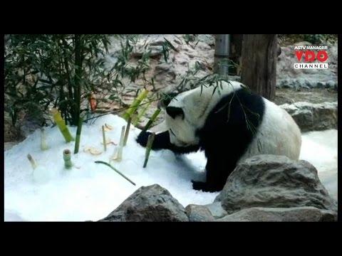 """สวนสัตว์เชียงใหม่จัดคลายร้อน""""แพนด้า"""" กะให้หายเครียดพร้อมผสมพันธุ์"""
