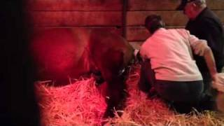 Mare foaling - Briar Hill Farm, Rehoboth, MA