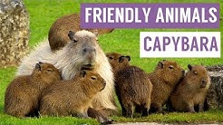 CAPYBARA are the FRIENDLIEST Animal Compilation!