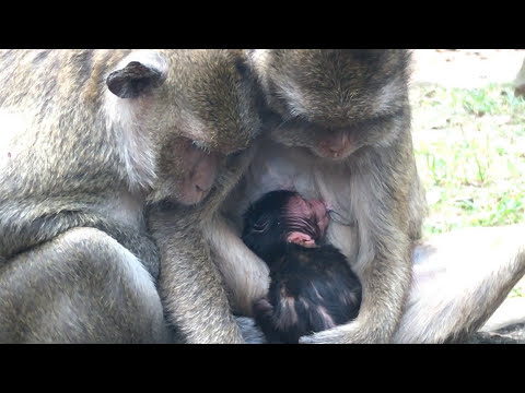 Good News ! Congratulation To Brutus Teams Had New Born Baby Monkey