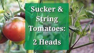 Sucker & String Train Tomatoes: 2 Heads