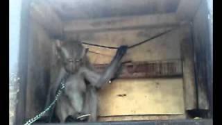 monyet megang tete