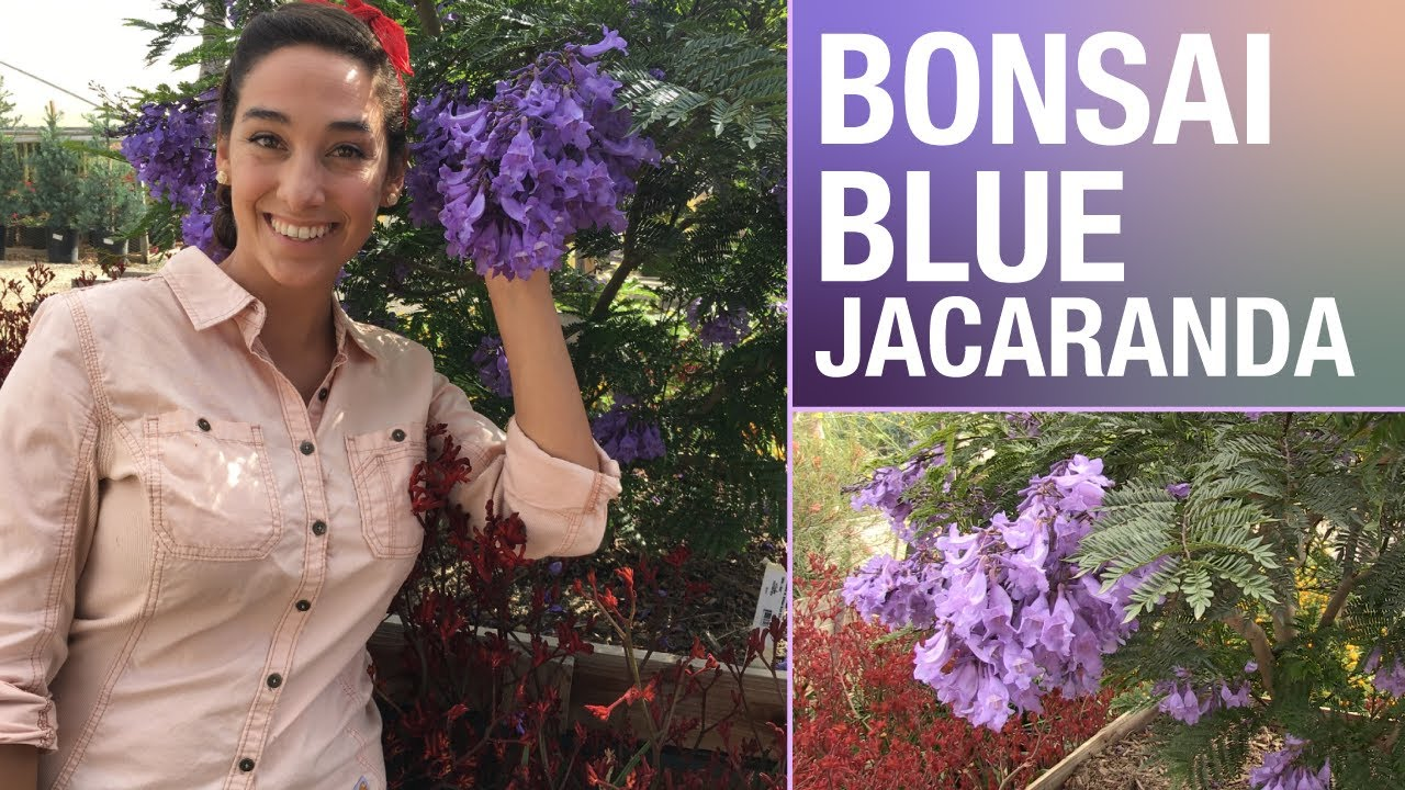 This Dwarf Jacaranda Is A Great Accent For Your Yard Youtube