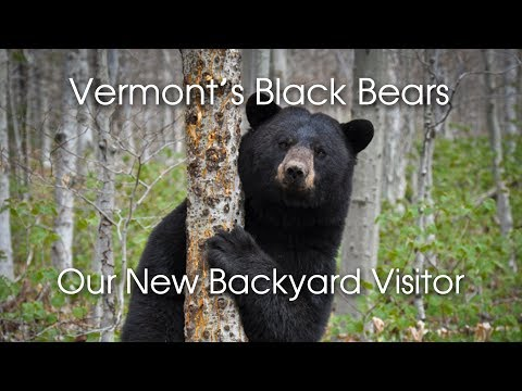 Vermont Black Bears: Our New Backyard Visitor