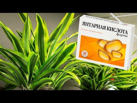 Зачем нужна янтарная кислота комнатным растениям? Нужна ли она на самом деле?