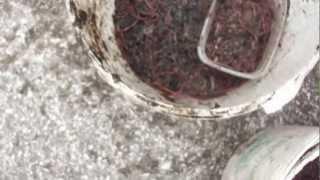 Dendrobena 5000 шт. Выползки 1000 шт у відрах 01.05 21.04.2012..