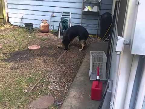 My German Shepherd catching a rabbit