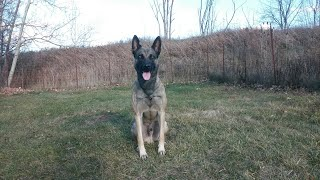 Protection Dog Training -belgian Malinois Puppy Working In Advanced Obedience