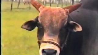 IPO da Morro Vermelho - O primeiro touro campeão e recordista mundial de peso da raça Nelore