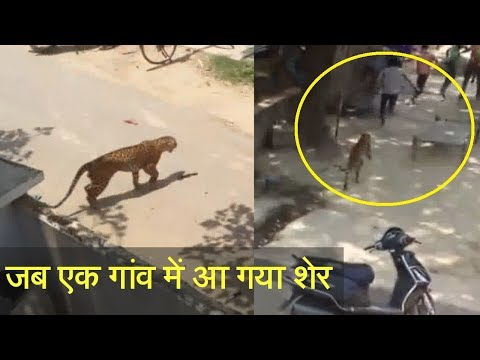 Lion Enter in Village of India - Live Video