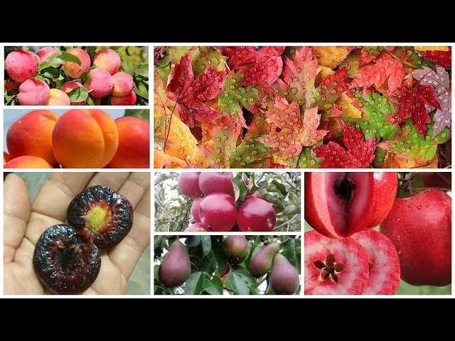 Осенний каталог коллекционных сортов - 2019: красномясая яблоня, гигантская слива, шарафуга, опата