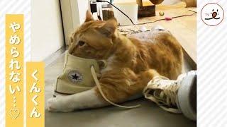靴フェチ猫さん、くんくんやめられない…😹♡ 【PECOTV】