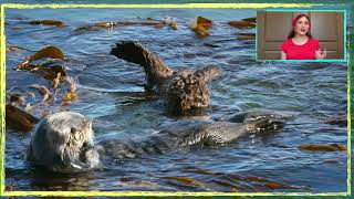 Mommy and Baby Sea Otter Explained! Munching on a fresh Crab and sharing with Baby