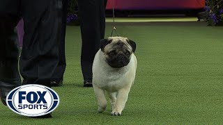 Biggie the Pug wins the Toy Group | WESTMINSTER DOG SHOW (2018) | FOX SPORTS