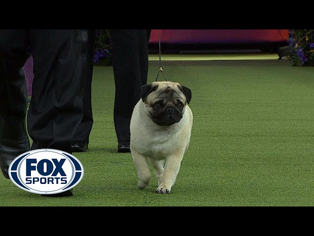 Biggie Pug Chapel Hill Pittsboro Wins Toy Group At Westminster Dog