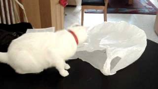 Why cats shouldn't be curious about plastic bags