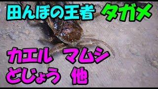 (90) タガメ対マムシの戦いと深海魚 2017/09/13 【Aquarium】