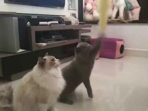 Ragdoll & British Shorthair