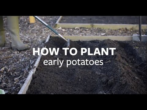 How to plant early potatoes   Grow at Home   Royal Horticultural Society
