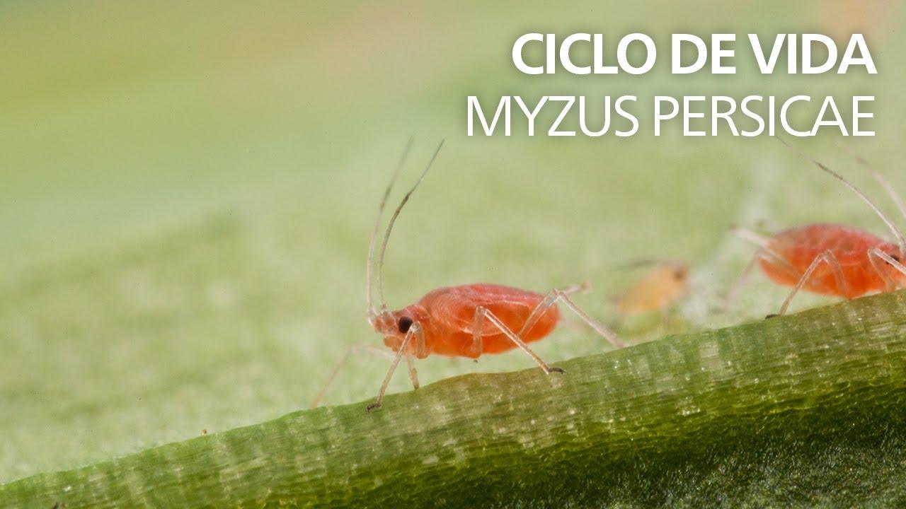 Download Ciclo de vida - Myzus persicae