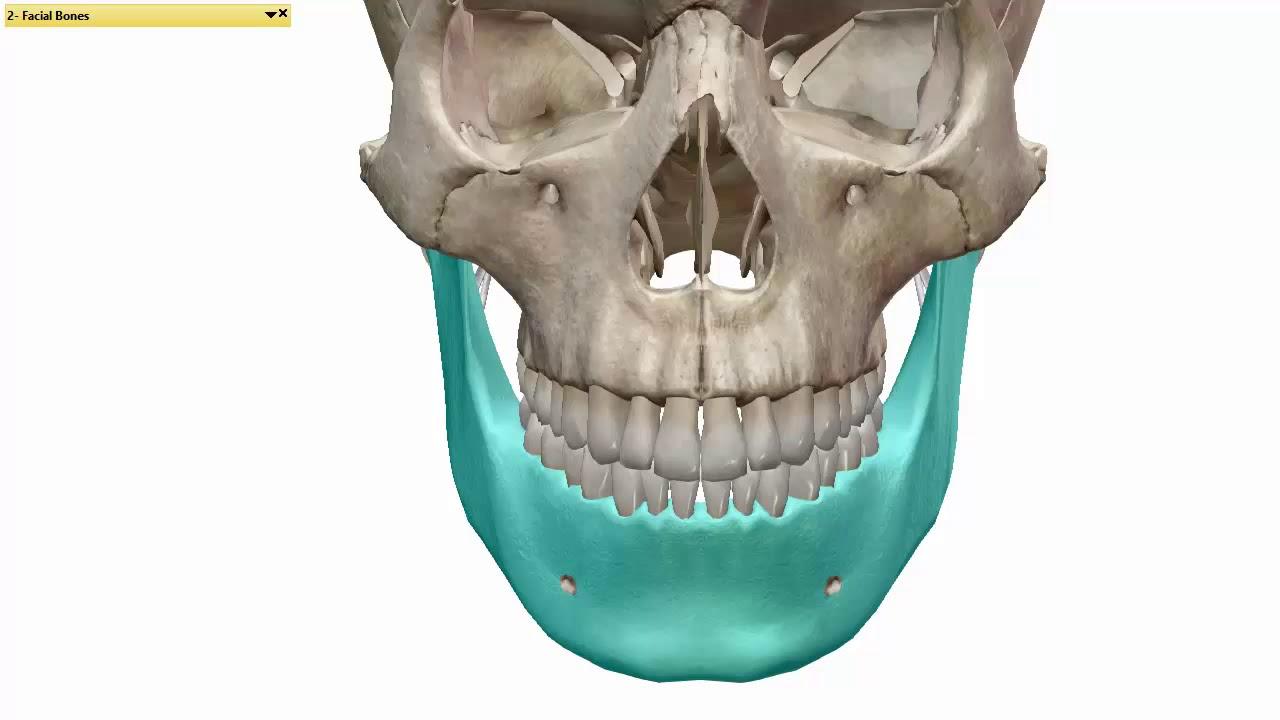 Facial bones below the hairline, porno picture lilian garcia