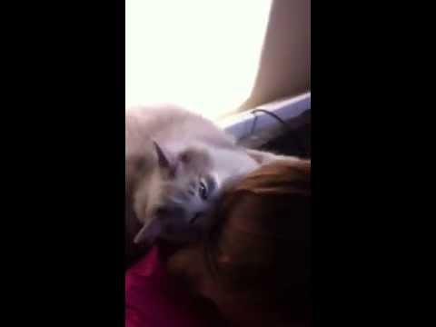 Ragdoll cat give big hugs back.