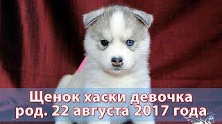 Девочка щенок хаски с/б родилась 22 августа 2017 года