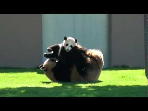 Panda Wrestling