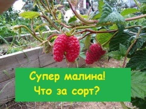 СУПЕР малина!! Что за сорт?  Прошу совета#питомникмедуница | питомникмедуница | анжеликанадёжина | медуницасад | садогород | маросейка | растет | мелкие | малина | ягоды | сорта