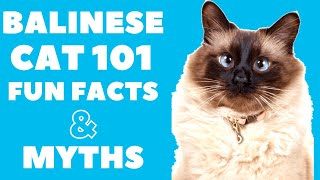 Balinese Cats 101 : Fun Facts & Myths