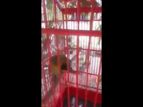 Waw !! Suara Kicauan Burung Cucak Hijau Banyuwangi