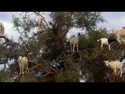 Animals standing on a tree. Funny video in Morocco