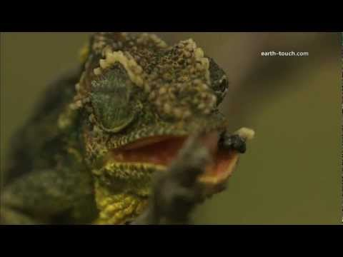 Chameleon's tongue catches fly