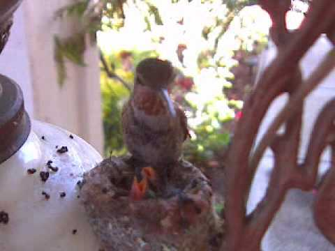Hummingbird live web cam Day 7 - It takes much longer to feed the two chicks
