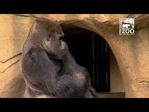 Western Lowland Gorilla Silverback Mshindi First Time Out - Cincinnati Zoo