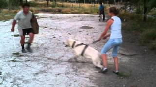 Рик Белая Швейцарская овчарка(Занятие по ОКДС., 2012-09-09T09:56:55.000Z)