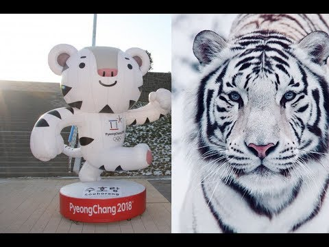 The White Tiger Is A National Symbol Of South Korea Soohorang Is