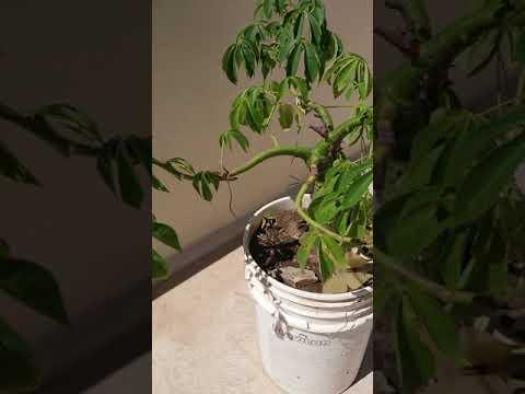 #paloborracho #bonsai Actualización