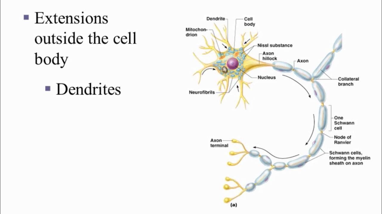 Neuron Anatomy - YouTube
