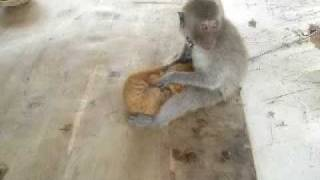 "חתול יורד לקוף ""Cat do hand job for hurney monkey"""