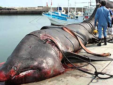 largest shark ever caught - photo #9