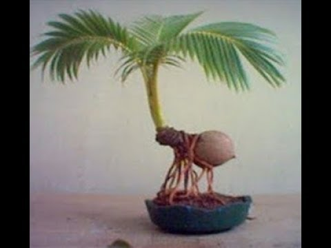 Bonsai Kelapa Media Pasir Blogger Bonsai