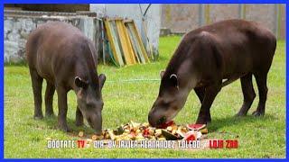 Ecuadorian Tapir  - Hermosos Animales Rescatados | Ecuador Ama La Vida