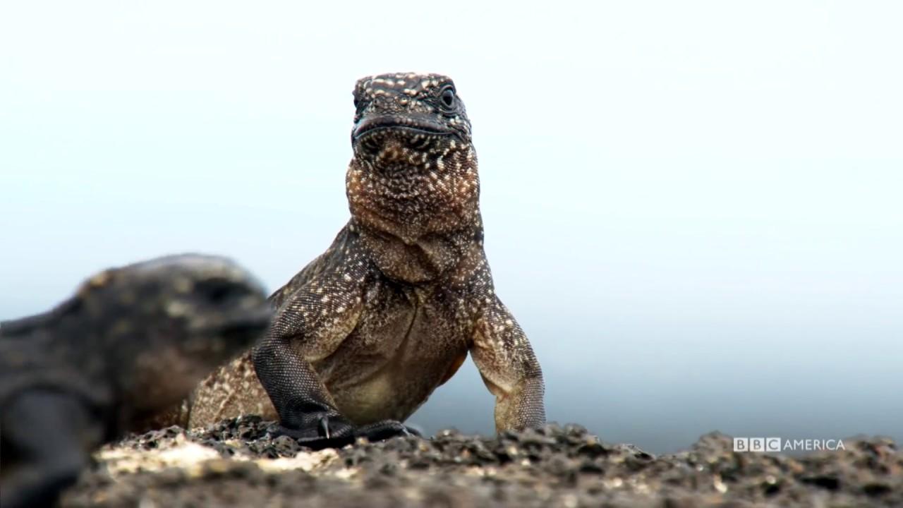Iguana vs Snake | Planet Earth II | BBC America