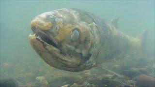 埼玉県行田市の利根川で、サケの卵が孵化(ふか)する日を待っている。...
