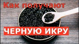 Как получают черную икру на осетровой ферме в Астрахани